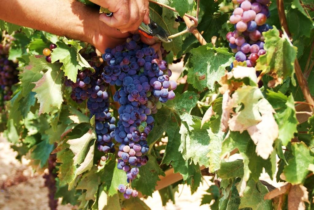 Drømmen om en vingård