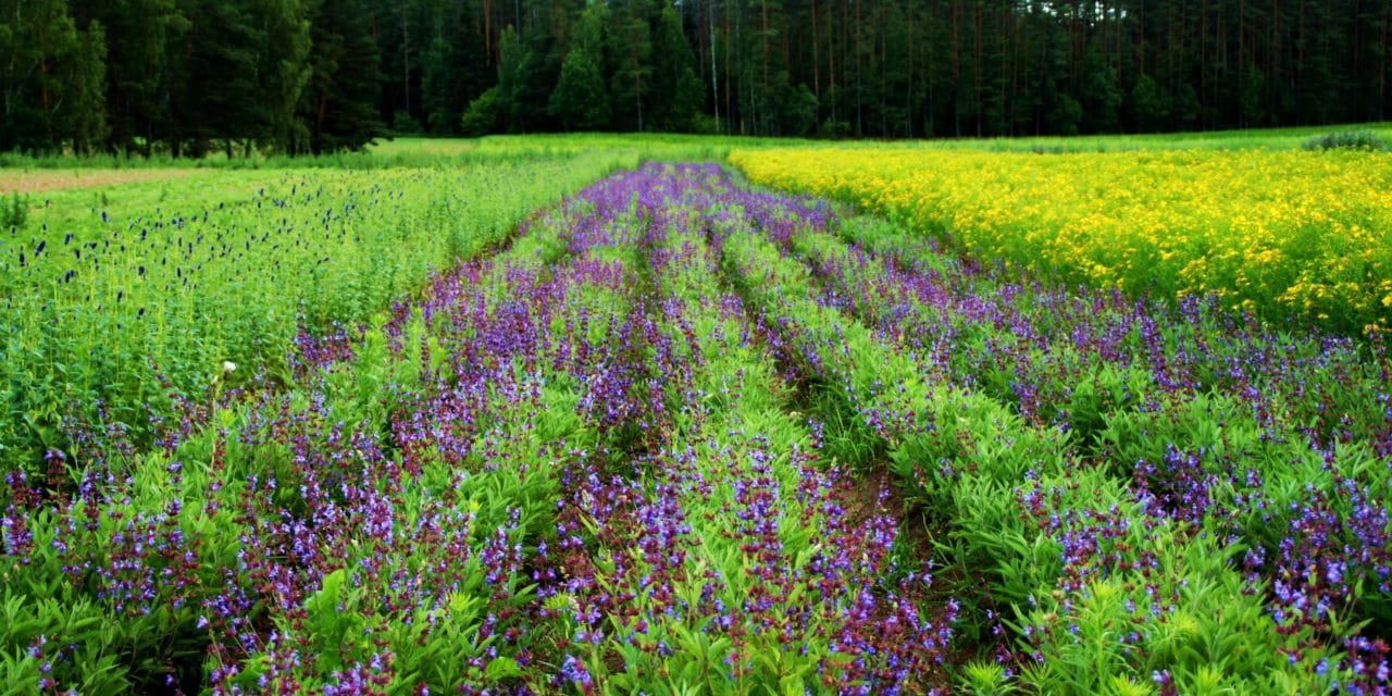 LATVIAN HERBAL TEA – A HEALTHY TASTE OF SUMMER