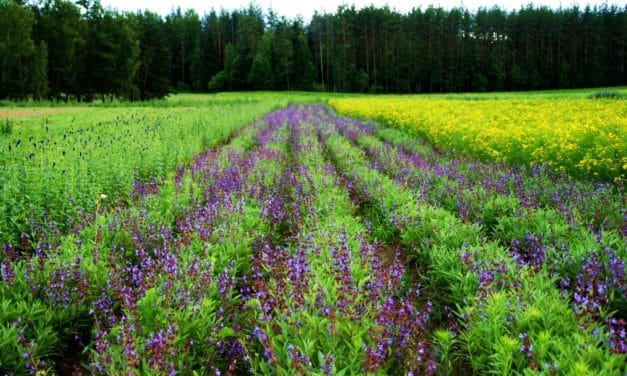 LATVIAN HERBAL TEA – A HEALTHY TASTE OF SUMMER