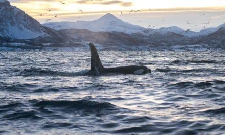 På jakt etter nordlys og hval med Arctic Expedition