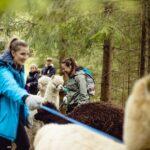 Ut på vandretur med alpakkaer
