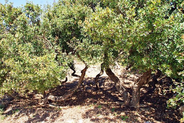 Mastika – et gresk naturprodukt fra Chios