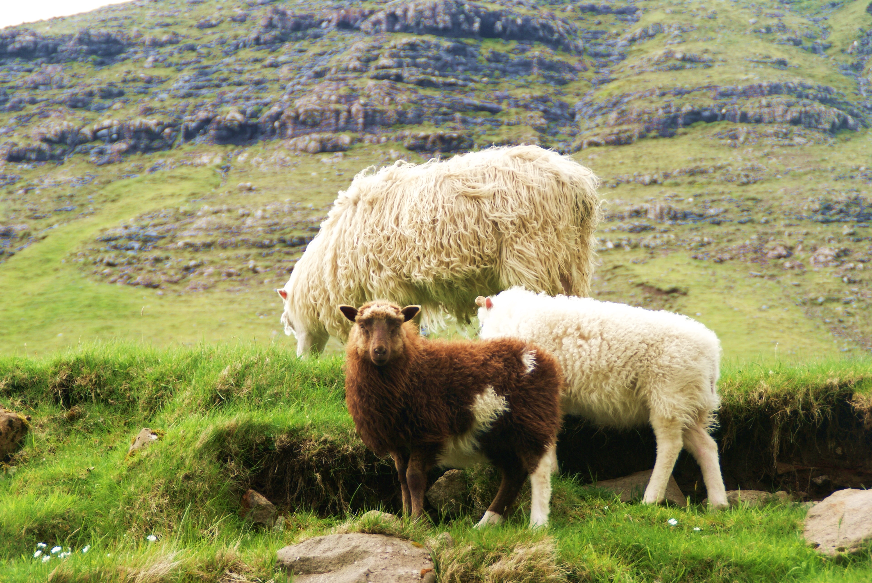 Beitende sauer under fottur på Færøyene